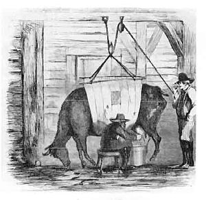 "Swill milk scandal - A 19th century illustration of ""swill milk"" being produced: a sickly cow being milked while held up by ropes."