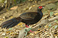 Swinhoe Pheasant (young male) - Taiwan.jpg