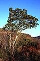 Syzygium guineense guineense 15594186.jpg