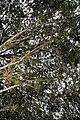Syzygium jambos 10zz.jpg