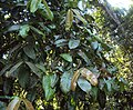 Syzygium mundagam 01.JPG