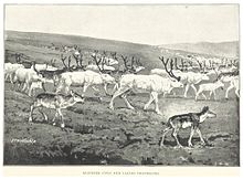 TB(1895) p240 REINDEER COWS AND CALVES TRAVELLING.jpg
