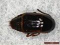Tachinus corticinus (41345005110).jpg