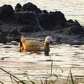 Tadorna ferruginea, ruddy shelduck - 28.jpg