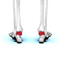 Talus bone 08 posterior view.png