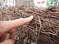 Tapis de racines de platane sous trottoir Platanus root mat under sidewalk Lille northern France 06.jpg