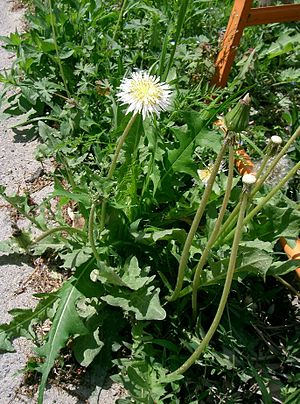 Taraxacum albidum - The flowers are held singly on smooth stems above the basal rosette of leaves