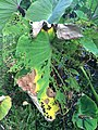 Taro (Colocasia esculenta)- Phytophthora leaf blight (15201147522).jpg