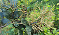 Terminalia paniculata flowers 03.jpg