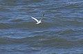 Tern (40311).jpg