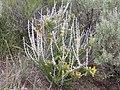 Tetradymia spinosa (4049342904).jpg