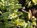Tetraena stapfii 1 MHNT.jpg