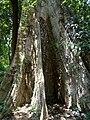 Tetrameles nudiflora at Kottiyoor 04.jpg