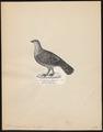 Tetrao urogallus - 1809-1845 - Print - Iconographia Zoologica - Special Collections University of Amsterdam - UBA01 IZ17100325.tif