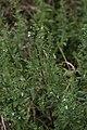 Teucrium kraussii (Lamiaceae - Labiatae) (4757268424).jpg