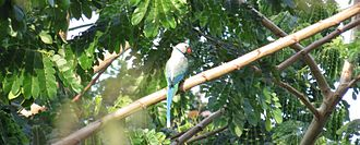Blue-winged parakeet - Blue-winged parakeet from Western Ghats Attappadi PLateau, Kerala, India