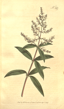 The Botanical Magazine, Plate 367 (Volume 11, 1797).png