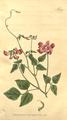 The Botanical Magazine, Plate 380 (Volume 11, 1797).png