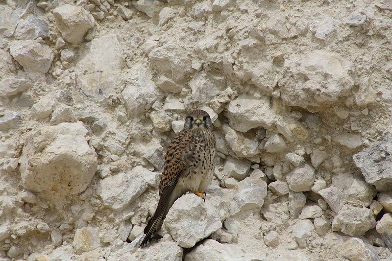 File:The Common Kestrel Falcon in Lusail city – Qatar.JPG