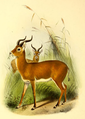 The book of antelopes (1894) Cobus kob.png