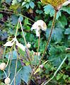 The fruit of Anemone vitifolia.jpg