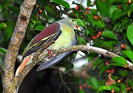 Thick-billed Green Pigeon.jpg