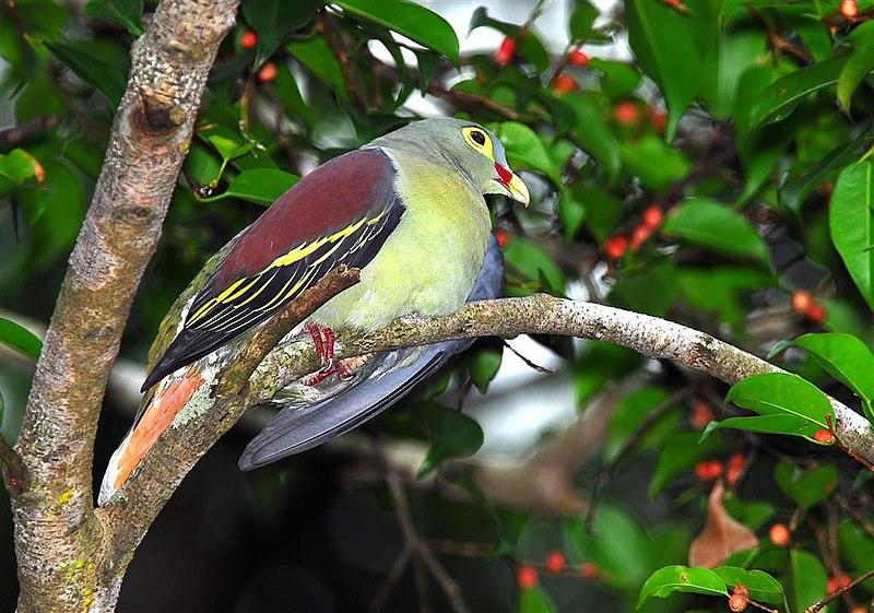 Ficheiro:Thick-billed Green Pigeon.jpg