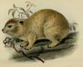 Thomas 1887 Dendrohyrax emini.png