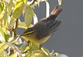 Tickell's Leaf Warbler Phylloscopus affinis by Dr. Raju Kasambe DSCN3670 (2).jpg