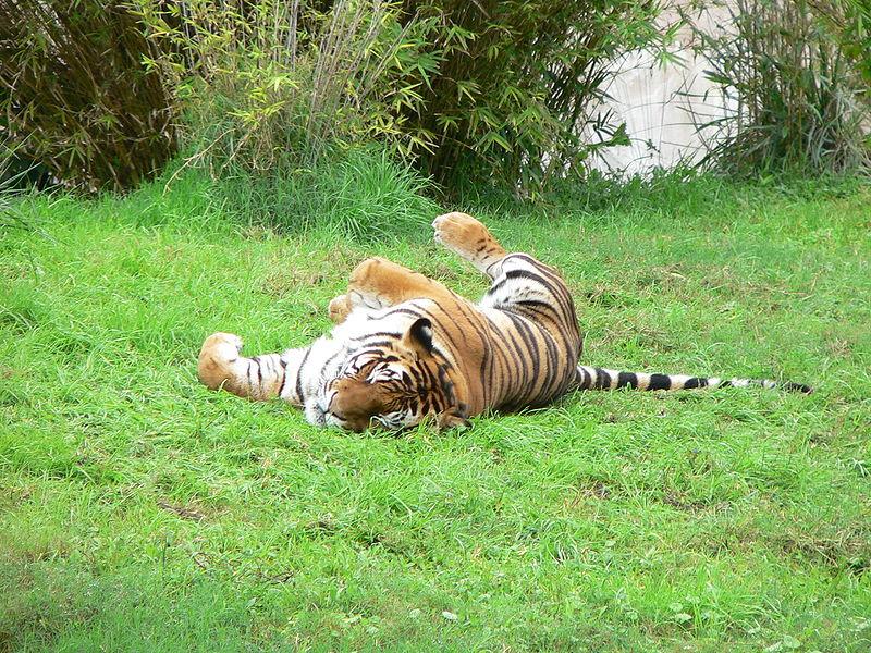 Soubor:Tiger2.jpg