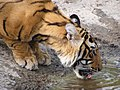 Tiger Drinking Water.jpg
