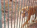 Tiger in Lucknow Zoo 1.jpg