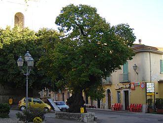 Fragneto Monforte -  The Tiglio tree