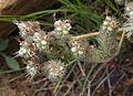 Timberline phacelia closeup.jpg