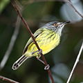 Todirostrum maculatum - Spotted Tody-Flycatcher.JPG