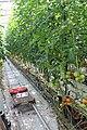 Tomato ARM 05.jpg