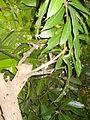 Top Working in Mango Tree (YS) (4).JPG