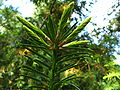 Torreya californica branch PAN 01.JPG