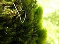 Touffes d'algues vertes filamenteuses dans Les Baillons aout2017 a 03.jpg