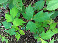Toxicodendron radicans 02158.jpg