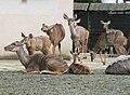 Tragelaphus strepsiceros Dvur zoo 1.jpg