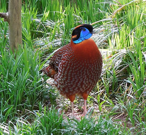 Tragopan temminckii -Smithsonian National Zoo, Washington, USA -male-8a