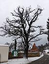 Traubeneiche (Quercus petraea), Olbernhau (2).jpg