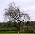 Tree, Terrace Hill Gardens, Belfast - geograph.org.uk - 701161.jpg
