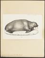 Trichechus rosmarus - 1700-1880 - Print - Iconographia Zoologica - Special Collections University of Amsterdam - UBA01 IZ21100013.tif