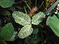 Trifolium pratense virus 2016-08-29 3772.jpg