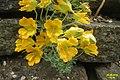 Tropaeolum polyphyllum (SG) (30421077151).jpg