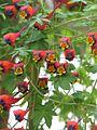 Tropaeolum tricolor - Flickr - peganum (2).jpg
