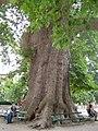 Trsteno platan 2006 A 321.jpg