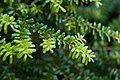 Tsuga diversifolia 02.jpg